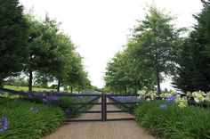 Tree lined and agapantha lined driveway with gorgeous gates....I like this a lot!