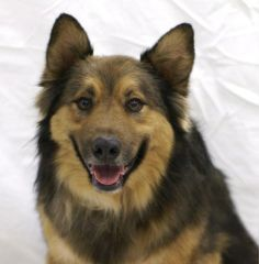 ***07/30/14 STILL LISTED*** Buddy - Shepherd/Collie mix - 10 - 12 yrs old - SPCA PETS SNAP - Montgomery County Texas - Conroe, TX. - http://www.spcaofmc.com/animals/detail?AnimalID=2133683 - http://www.adoptapet.com/pet/5628643-conroe-texas-collie-mix - https://www.facebook.com/SPCAOFMC?v=wall - http://www.petfinder.com/petdetail/1426370/