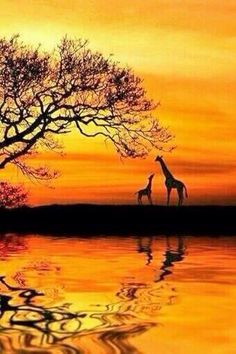 Silhouette ∞∞∞∞∞∞∞∞∞∞∞∞∞∞∞∞∞∞∞∞∞∞∞∞∞∞∞∞ Giraffes ∞∞∞∞∞∞∞∞∞∞∞∞∞∞∞∞∞∞∞∞∞∞∞∞∞∞∞∞ Golden Nature ~ 'Wild ' Dawn' by Martin Wait. Beautiful Creatures, Animals Beautiful, Foto Poster, Art Africain, Beautiful Sunset, Sunset Beach, Amazing Nature, Belle Photo, Nature Photos