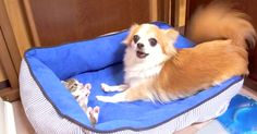 Chihuahua Makes Friends With The Family's New Addition | The Animal Rescue Site Blog