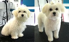 maltese puppy cut before and after | Zoe Fans Blog
