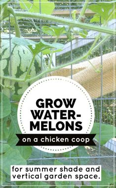 Chicken Coop Plans Free 530369293617375694 - growing watermelons on a chicken coop run increases summer shade for the chickens and frees up valuable garden space for other plants. Chicken Coop Run, Portable Chicken Coop, Chicken Garden, Backyard Chicken Coops, Building A Chicken Coop, Chicken Runs, Chickens Backyard, City Chicken, Chicken Coup