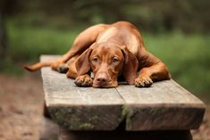 5 Things to Know About Vizsla Puppies #dogphotography