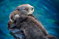 Sea otter pups sleep on their moms.