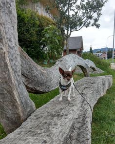 #htcu11 #chihuahuas #beautiful #chihuahuasofinstagram #Chihuahua #chihuahualove #littledogs #funnydog #funnyvideos #dogofinstagram #dog #dogs #chihuahualife #pets #pets #petsofig #petsofinstagram #petsoriginal #petsoftheday #chihuahuamania #instadog #instadogs #ilovemydog #ilovemydogs #happydog  #dogoftheday #犬 #狗 #hund #bild Chihuahua Dogs, Boston Terrier, Plants, Animals, Pet Dogs, Boston Terriers, Animales, Animaux, Chihuahua