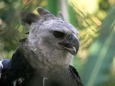 Harpy Eagle love