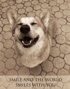 Corgi - Smile and the world smiles with you! I Love Dogs, Puppy Love, Happy Puppy, Funny Animals, Cute Animals, Pretty Animals, Cute Corgi, Smiling Dogs, Smiling Faces