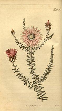 v.50 (1822-1823) - Curtis's botanical magazine. - Biodiversity Heritage Library