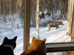 2 cats, 4 moose -  Fairbanks Daily News-Miner: Our Town