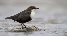 Vroege Vogels: waterspreeuw