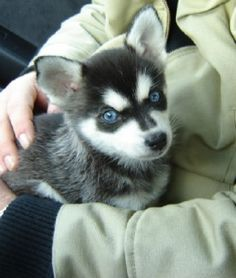 Alaskan klee kai puppy - this is the one!!! <3    Like and repin. :)
