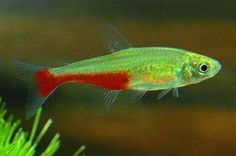 Green flame tetra, Aphyocharax rathbuni.  Closely related to bloodfins, and will actually school with them.  A nice, active tetra.