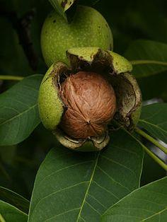 Ořešák královský - vlašský ořech