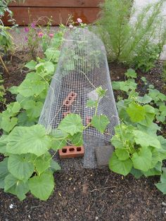 Great use of Wire Mesh as Cucumber Garden trellis support structure