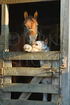 Appaloosa horse mother and spotted foal in their stall for the evening, both purebreds, Pennsylvania, PA, USA.  Dierks Photo