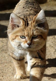 Sand cat from Africa, love that fluffy face! Crazy Cats, Big Cats, Cats And Kittens, Cute Cats, Wild Animals Photography, Cat Photography, Animals Beautiful, Cute Animals, Cutest Animals