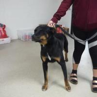 Pet Card With Images Rottweiler Mix Pets Dog Adoption