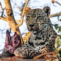 Queen Karula, with a little a snack! #safarilive #sabisands #leopard #leopardsofinstagram #bigcatsofintsgram #catoftheday #southafrica @safariliveofficial #natgeowild #africa #wildlife