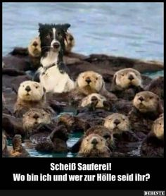 I'm surrounded by otters. I don't know why I'm surrounded by otters but I am. Animals And Pets, Funny Animals, Cute Animals, Otters Funny, Baby Animals, Funny Animal Pictures, Best Funny Pictures, Funny Photos, Crazy Pictures