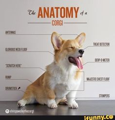 Cute and corny anatomy of a Welsh Corgi that is enjoyable to glance at when taking a break from studying A&P. :)