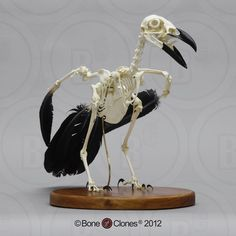 Articulated Raven Skeleton Bone Clones - Reproductions for learning and such Animal Skeletons, Animal Skulls, Skeleton Bones, Skull And Bones, Bird Bones, Skeletal System, Animal Anatomy, Animal Bones, Crows Ravens