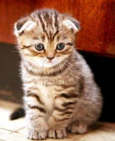 just so cute - striped Scottish Fold kitten