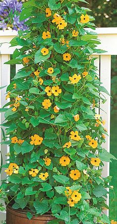 Cerca Natural, Outside Living, Outdoor Living, Outdoor Flowers, Clematis, Growing Plants, Potted Plants, Garden Inspiration, Houseplants