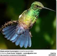 The Steely-vented Hummingbird (Amazilia saucerrottei) is a medium-sized hummingbird with two distinct populations - one found in Central America and the other in South America .