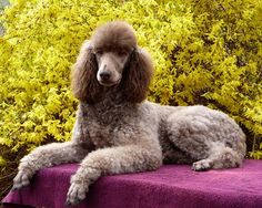 Poodle Dogs Silver beige poodle (K-Lar's Hot Cocoa - Cocoa) French Poodles, Standard Poodles, I Love Dogs, Cute Dogs, Awesome Dogs, Poodle Cuts, Tea Cup Poodle, Dog Pictures, Dog Photos