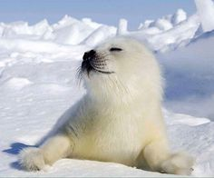 This little Harp Seal pup is adorable. Harp Seal Pup, Baby Harp Seal, Baby Seal, Cute Baby Animals, Animals And Pets, Funny Animals, Cute Seals, Wale, Tier Fotos