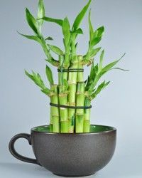 Lucky bamboo - Placement: These plants prefer bright or low light. Do not expose to direct sunlight as it might burn the leaves.
