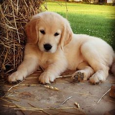 I love everything about this Golden Retriever puppy