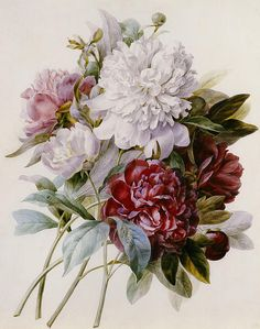 red, pink and white peonies by Pierre-Joseph Redouté