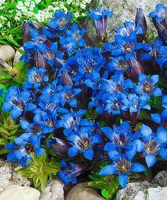 Hořec. Gentiana acaulis. Mimořádně krásná horská květina s fialově modrými trubkovitými květy, přizpůsobená podmínkám nížin. Hlavní využití ve skalkách. Stanoviště: plné slunce - polostín, doba kvetení: květen - srpen, výška: asi 10 cm.