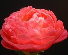 peonies coral    Wholesale Bulk Coral Charm Peony l From MyFlowerBuyer.com