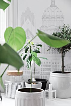 Only Deco Love: My Avocado Trees : A tale of growth