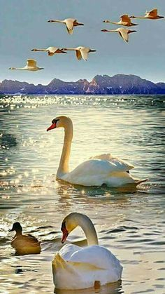 Ducks in Water & Birds Flying Overt Canvas Wall Art - Canvas Wall Decor Swan Pictures, Bird Pictures, Nature Pictures, Beautiful Pictures, Beautiful Swan, Beautiful Birds, Animals Beautiful, Animals And Pets, Cute Animals