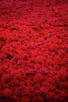 The Beautiful Life and Death of 10,000 Roses