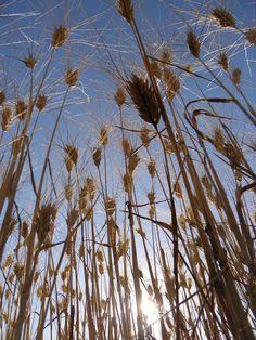 Les blés ensoleillés