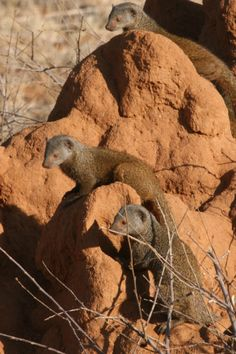 Dwarf Mongooses on a termite mound, Samburu, Kenya by Richard Ainsworth