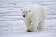 I love Polar bears would like to photograph them.Please check out my website Thanks  www.photopix.co.nz