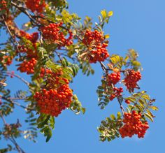 Mountain Ash trees (Sorbus/Rowan) ... best in colder or higher elevation sites. I love the red/orange berries from the fall into winter! (especially beautiful in the wild on the Blue Ridge Parkway, with great specimens found in the Mt. Pisgah, Craggy Gardens/Craggy Pinnacle and Mt. Mitchell areas near Asheville, NC).