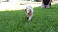 Kora, puppy running 8 weeks old