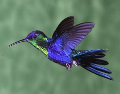 Thalurania, Violet-Crowned Woodnymph, Colombia (also in birds & paint)