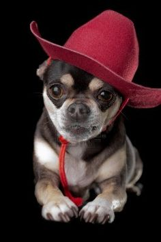 Cute chihuahua dressed in red cowboy hat