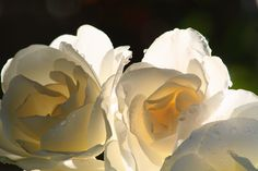 My favourite photo of white roses. Alas our white rose bush turned out to be pink! Oh well, next year :) Love Rose, My Flower, Pretty Flowers, White Flowers, Flower Petals, Colorful Roses, Beautiful Roses, Simply Beautiful, White Photography