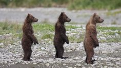 3 little bears!