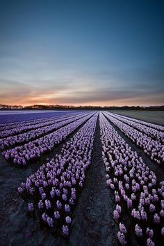 Hyacinth Field, The Netherlands  LOVE the smell of hyacinths!!!!  :)