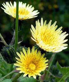 Annual Sowthistle Perennial; spreads by seeds; height to 18 inches; found across U.S. and southern Canada, mostly in lawns; flowers July through October.  Dig out entire root, or cut at soil line until root stops sprouting. Aerate and add organic matter to lawn. This weed tolerates compacted soil and shade.