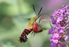 """I have one of these in my #garden! """"The hummingbird clearwing moth, which disguises itself as—well, look ..""""for yourself."""